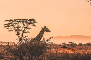 a giraffe observing the sunset